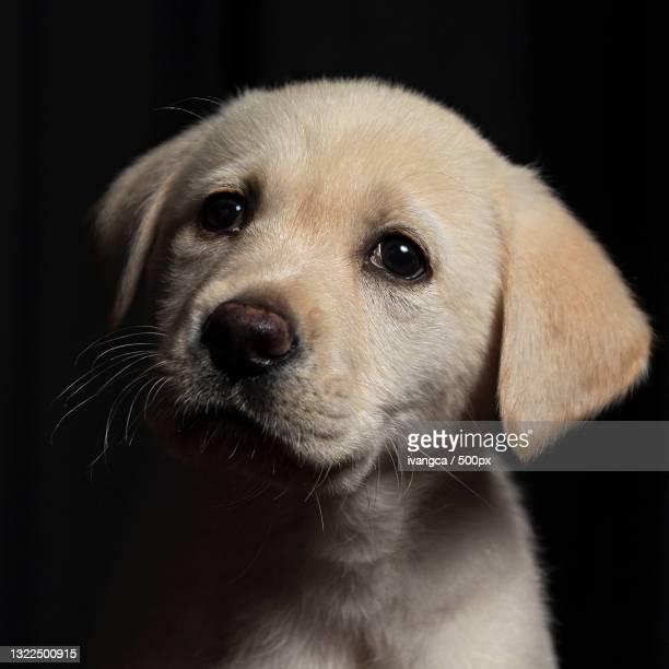 close-up portrait of labrador retriever,santa cruz de tenerife,spain - casa stockfoto's en -beelden