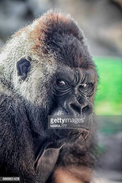 Close-Up portrait of large male Western lowland gorilla (Gorilla gorilla gorilla)