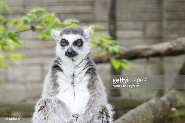 close-up portrait of lemur sitting against tree - lemur stock pictures, royalty-free photos & images