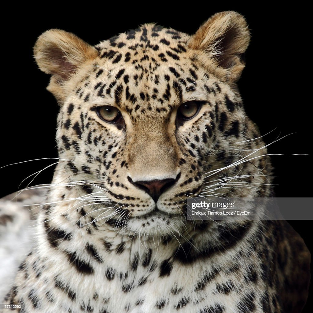 Close-Up Portrait Of Leopard Against Black Background : Photo