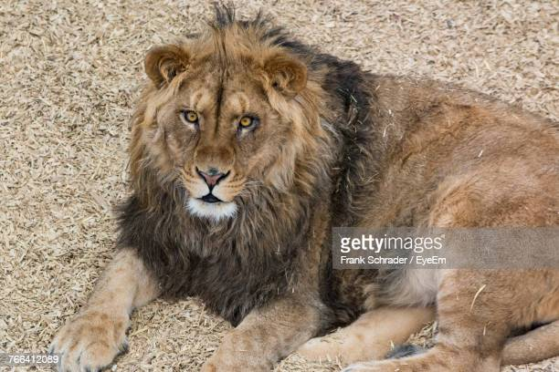 Close-Up Portrait Of Lion Relaxing On Field