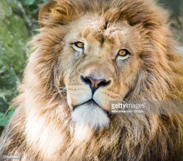 close-up portrait of lion,bourges,france - cher stock pictures, royalty-free photos & images