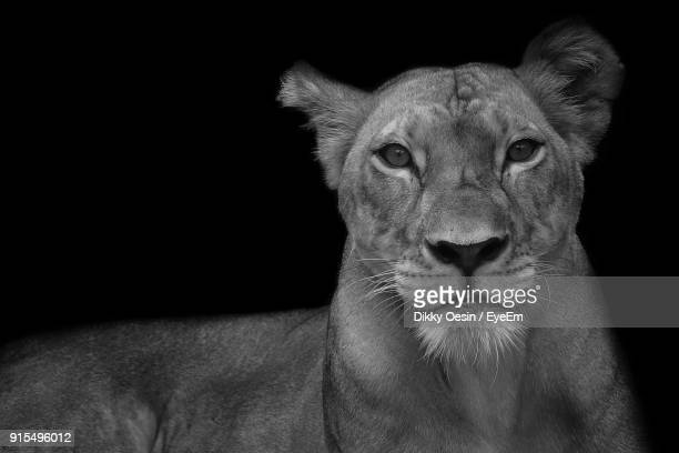 Close-Up Portrait Of Lioness Against Black Background