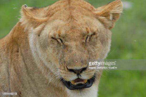 close-up portrait of lioness in serengeti national park - marek stefunko stock pictures, royalty-free photos & images
