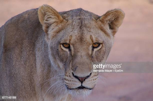 close-up portrait of lioness - lioness stock pictures, royalty-free photos & images