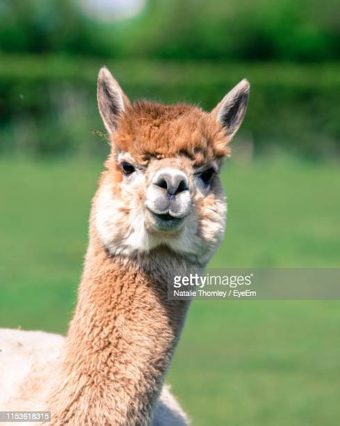 close-up portrait of llama - lama stock pictures, royalty-free photos & images