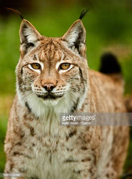 close-up portrait of lynx - lynx photos et images de collection