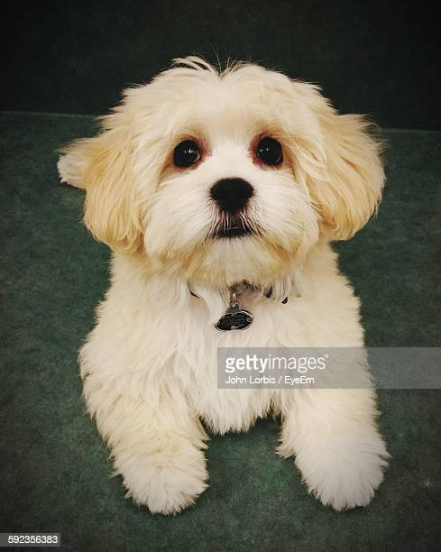 Close-Up Portrait Of Maltese Puppy On Floor