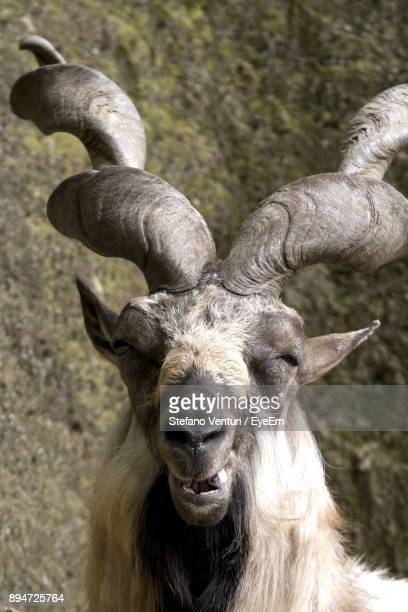 close-up portrait of markhor goat against rock - markhor stock photos and pictures