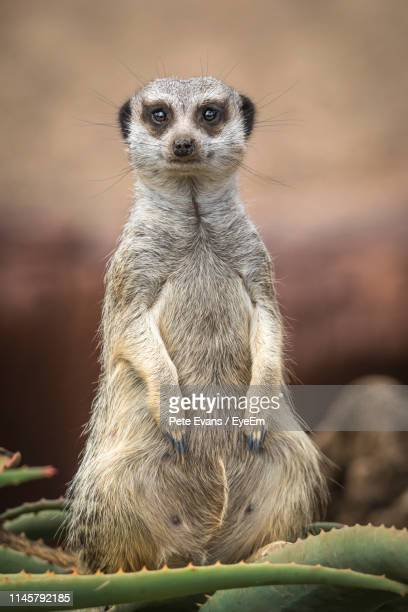 close-up portrait of meerkat sitting on cactus - mammal stock pictures, royalty-free photos & images