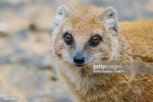 close-up portrait of mongoose - mongoose stock photos and pictures