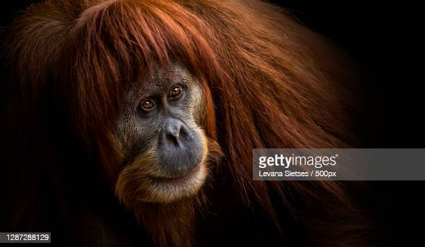 close-up portrait of monkey against black background,melbourne vic,australia - great ape stock pictures, royalty-free photos & images