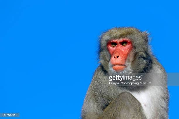 Close-Up Portrait Of Monkey Against Clear Blue Sky