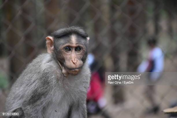 Close-Up Portrait Of Monkey In Cage At Zoo