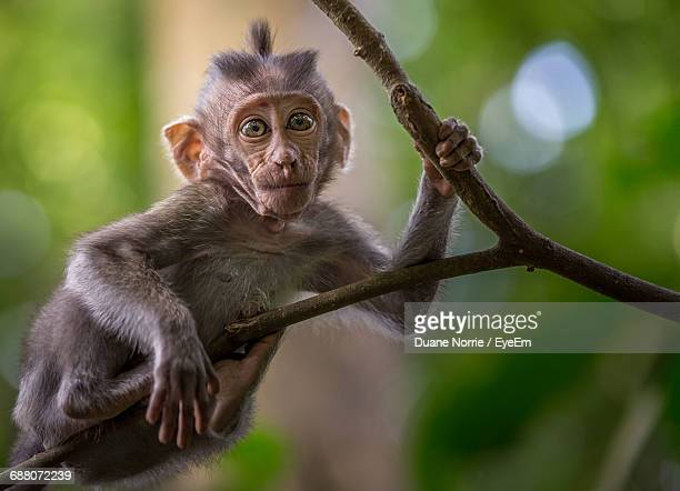 Close-Up Portrait Of Monkey Infant On Branch In Forest