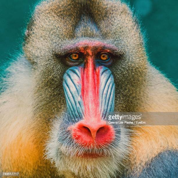 close-up portrait of monkey - primate stock pictures, royalty-free photos & images