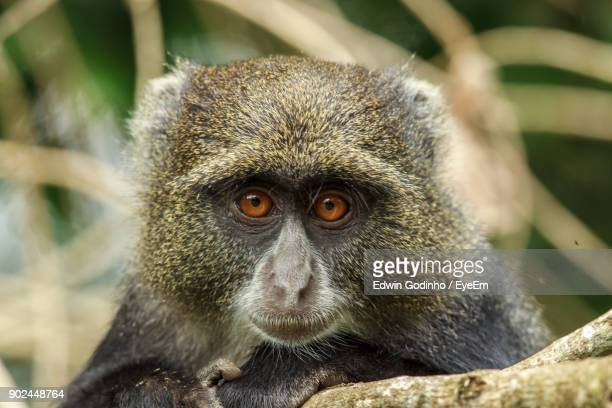 close-up portrait of monkey - arusha national park stock photos and pictures