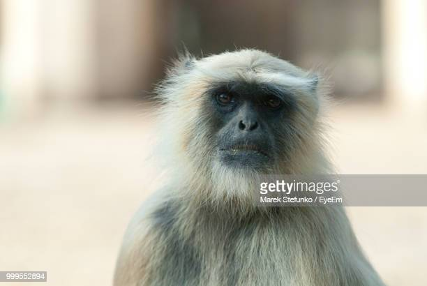 close-up portrait of monkey - marek stefunko - fotografias e filmes do acervo