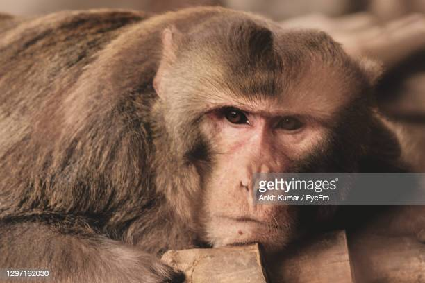 close-up portrait of monkey relaxing outdoors - chandigarh stock pictures, royalty-free photos & images