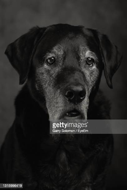 close-up portrait of old dog - snout stock pictures, royalty-free photos & images