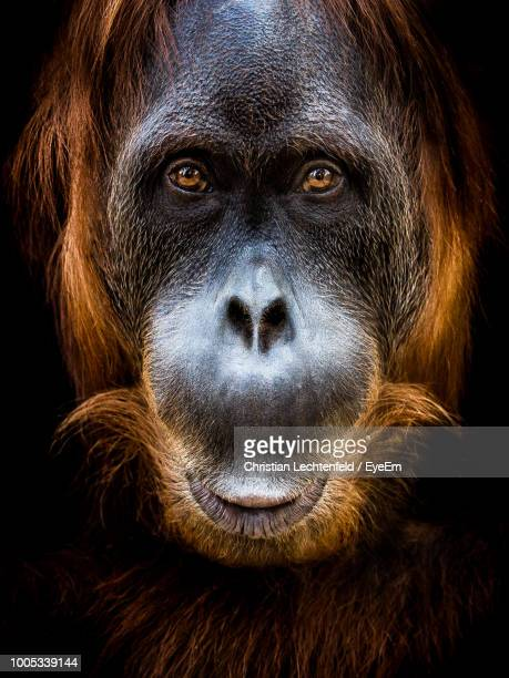 close-up portrait of orangutan against black background - primate stock pictures, royalty-free photos & images