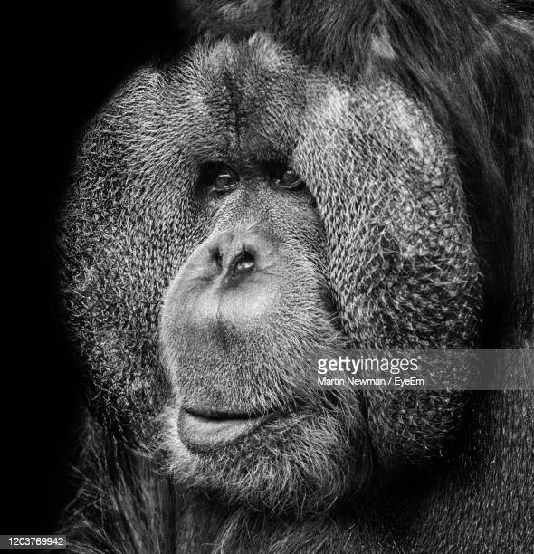 close-up portrait of orangutan - black and white stock pictures, royalty-free photos & images