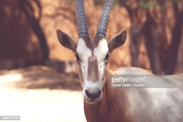close-up portrait of oryx - animal head stock pictures, royalty-free photos & images