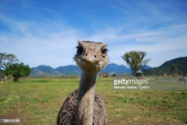 close-up portrait of ostrich on field against sky - ostrich stock pictures, royalty-free photos & images