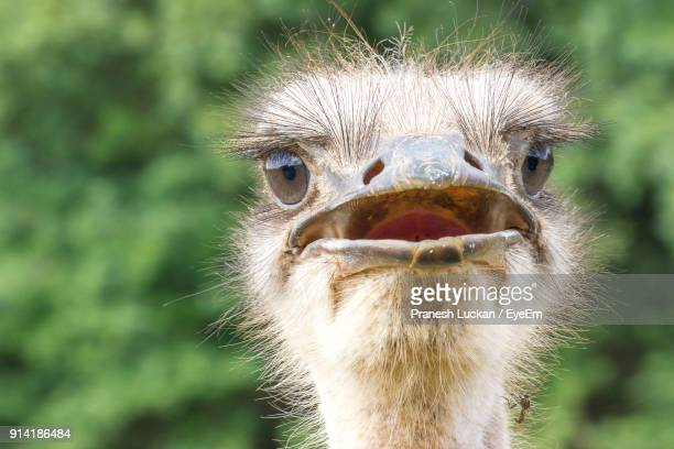 close-up portrait of ostrich - ostrich stock pictures, royalty-free photos & images