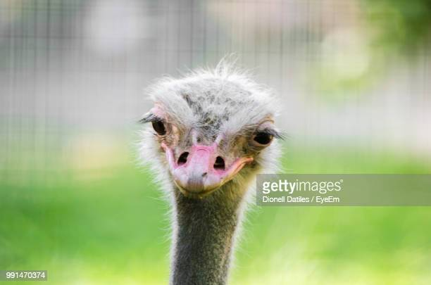 close-up portrait of ostrich - ostrich stock photos and pictures