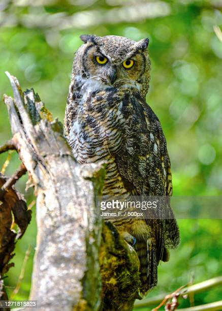 close-up portrait of owl perching on branch - great horned owl stock pictures, royalty-free photos & images