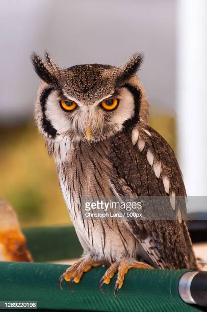 close-up portrait of owl perching on branch, zingst, germany - images stock-fotos und bilder