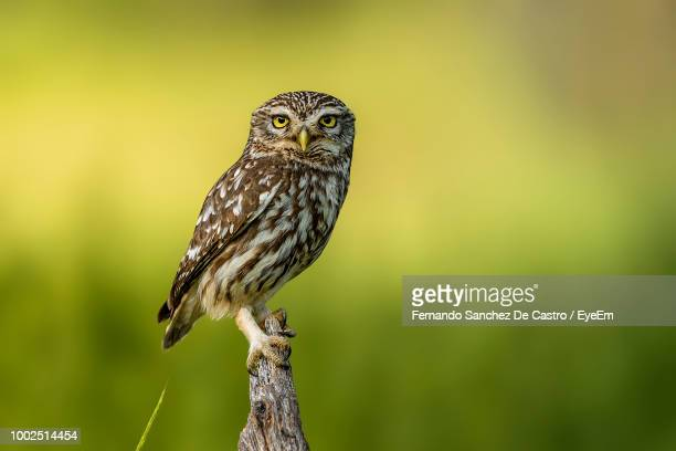 Close-Up Portrait Of Owl Perching On Tree