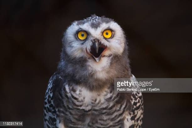 60 Top Screaming Owl Pictures, Photos, & Images - Getty Images