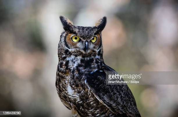 close-up portrait of owl,manakin,virginia,united states,usa - great horned owl stock pictures, royalty-free photos & images