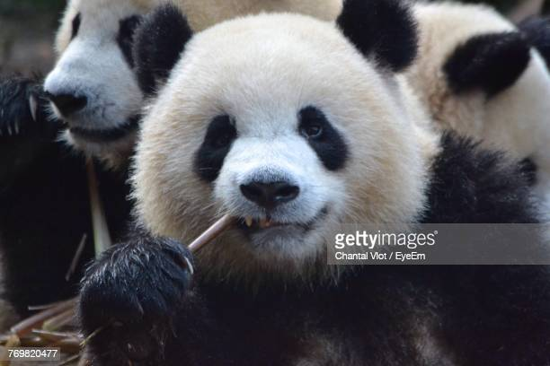 Close-Up Portrait Of Panda Eating Twig