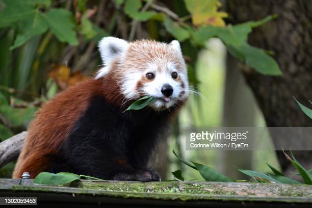 close-up portrait of panda on tree - hamilton new zealand stock pictures, royalty-free photos & images