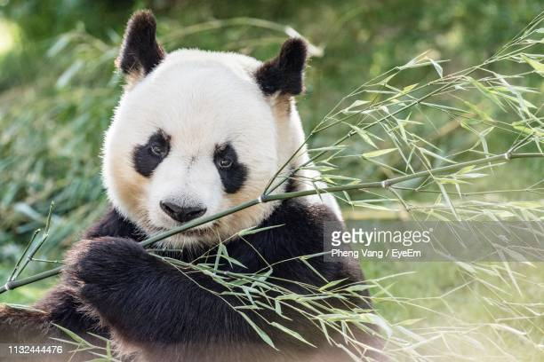 close-up portrait of panda - panda stock pictures, royalty-free photos & images