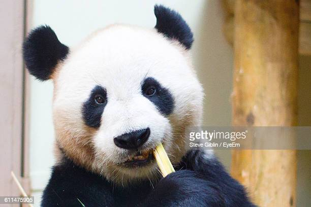 Close-Up Portrait Of Panda