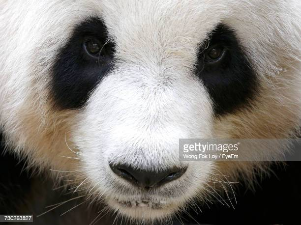 close-up portrait of panda - panda animal stock photos and pictures