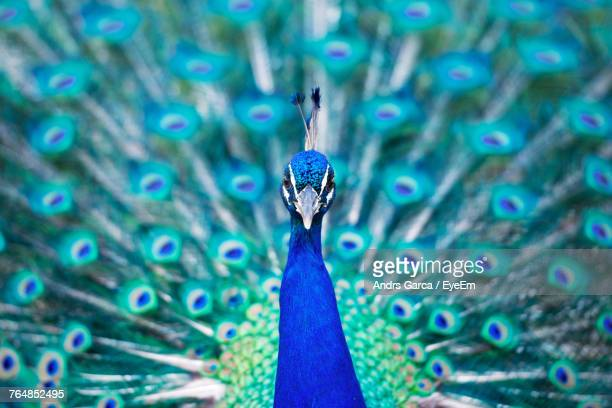 close-up portrait of peacock - peacock stock pictures, royalty-free photos & images