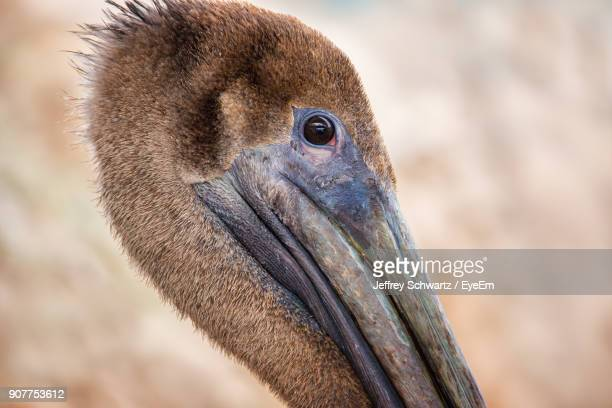 Close-Up Portrait Of Pelican Outdoors