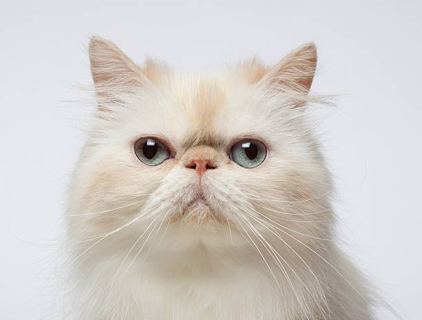 Close-up Portrait Of Persian Cat Wall Art