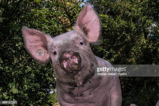 close-up portrait of pig - pig nose stock pictures, royalty-free photos & images