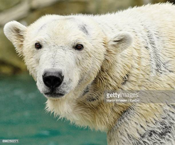 Close-Up Portrait Of Polar Bear