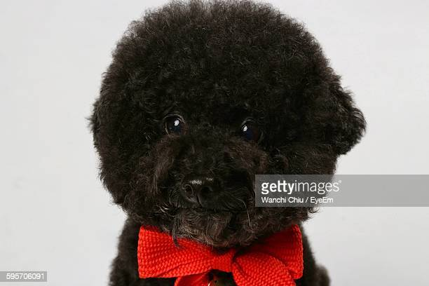 Close-Up Portrait Of Poodle Over White Background