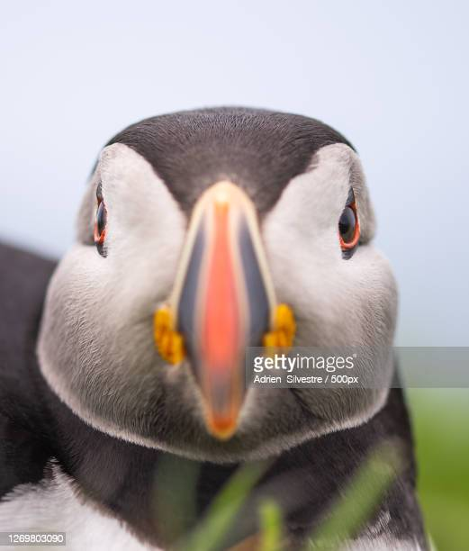 close-up portrait of puffin, isle of mull, united kingdom - animal body part stock pictures, royalty-free photos & images