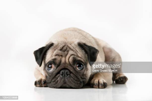 Close-Up Portrait Of Pug Over White Background
