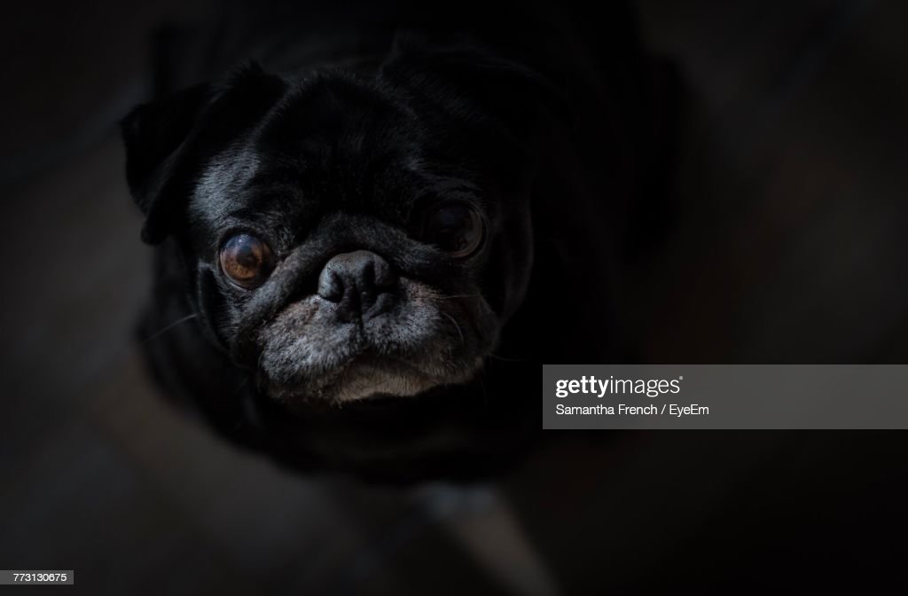 Close-Up Portrait Of Pug : Photo