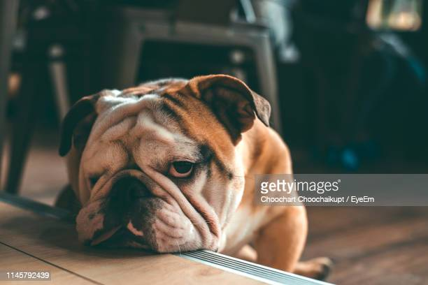 close-up portrait of pug resting at home - english bulldog stock pictures, royalty-free photos & images